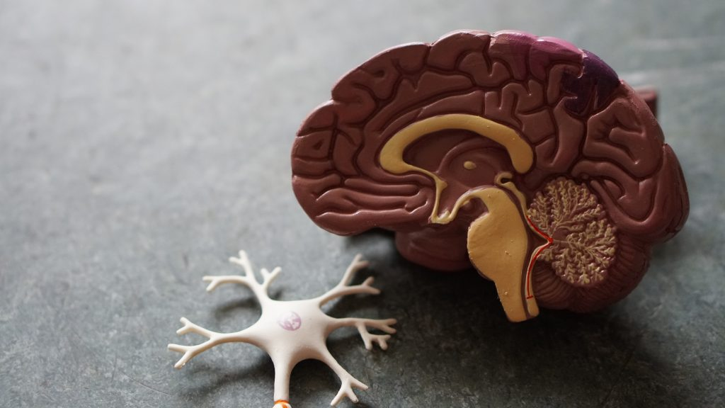 cerebro y neuronas